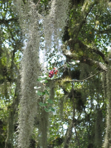[picture: jul03myakka-berries.jpg]
