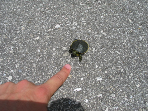 [picture: jul03myakka-turtle.jpg]