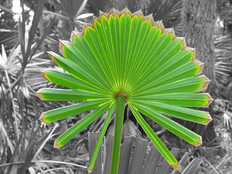 [picture: palm fan in Myakka River State Park]