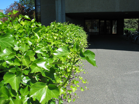 [picture: ivy at uvic, friday, june 27]